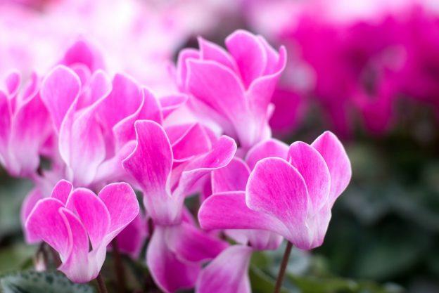 Die rosafarbenen Blüten des Alpenveilchens