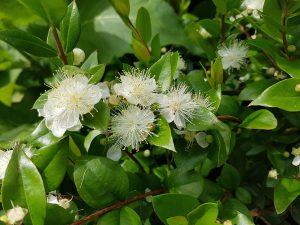 Myrte mit weißen blüten