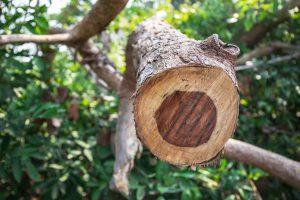 Ein Ast des Rosenholz aufgeschnitten