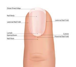 Aufbau eines Fingernagels